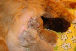 За сколько дней до родов у кошки появляется молозиво