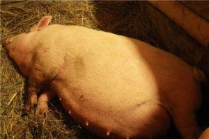 Если появилось молозиво у свиньи перед опоросом через сколько роды