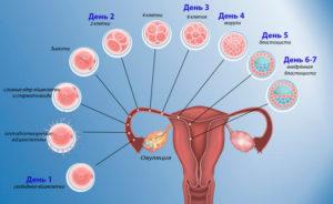 Сколько дней движется оплодотворенная яйцеклетка по трубам к матке