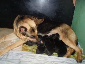 После родов нет молока у собаки
