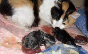 Через какое время после родов начинает гулять кошка