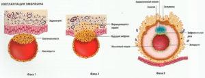 На какой день цикла происходит имплантация эмбриона при 28 дневном цикле