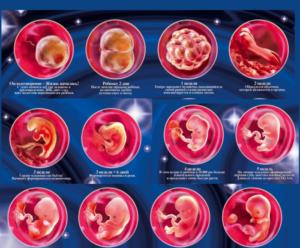 Беременность По Неделям Развитие Плода Видео