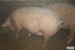 Как определить свинья поросная или нет