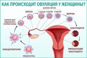 Через сколько дней после месячных созревает яйцеклетка