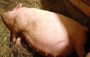 После опороса свиноматка не встает на ноги