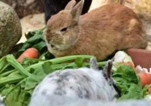 Можно ли давать кроликам листья красной свеклы