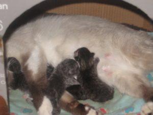 У кошки отошли воды через сколько она родит