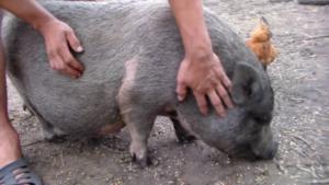 Опорос вьетнамских свиней первый раз