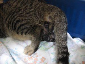 Почему у кошки большой живот после родов