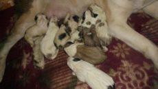 У собаки после родов выделения черные