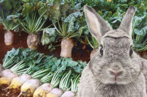 Можно давать кроликам кормовую свеклу