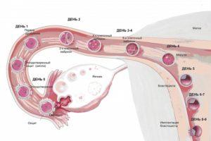 Через сколько дней эмбрион прикрепляется к матке после зачатия