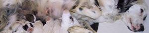 Перед родами у собаки выделения