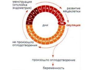 Может ли быть овуляция в конце цикла перед месячными