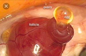 После овуляции тянет яичник признак беременности